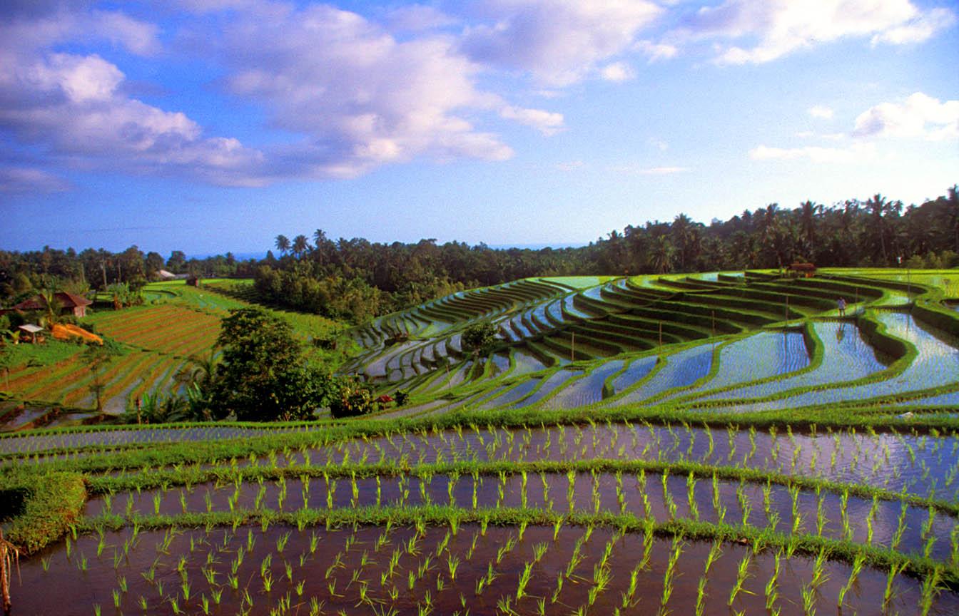 Bali Indonesia  city photos : Bali, Indonesia, Rice terraces
