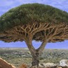 Paradise Holiday Destination, Socotra, Yemen, Dragon tree Dracaena cinnabari 01