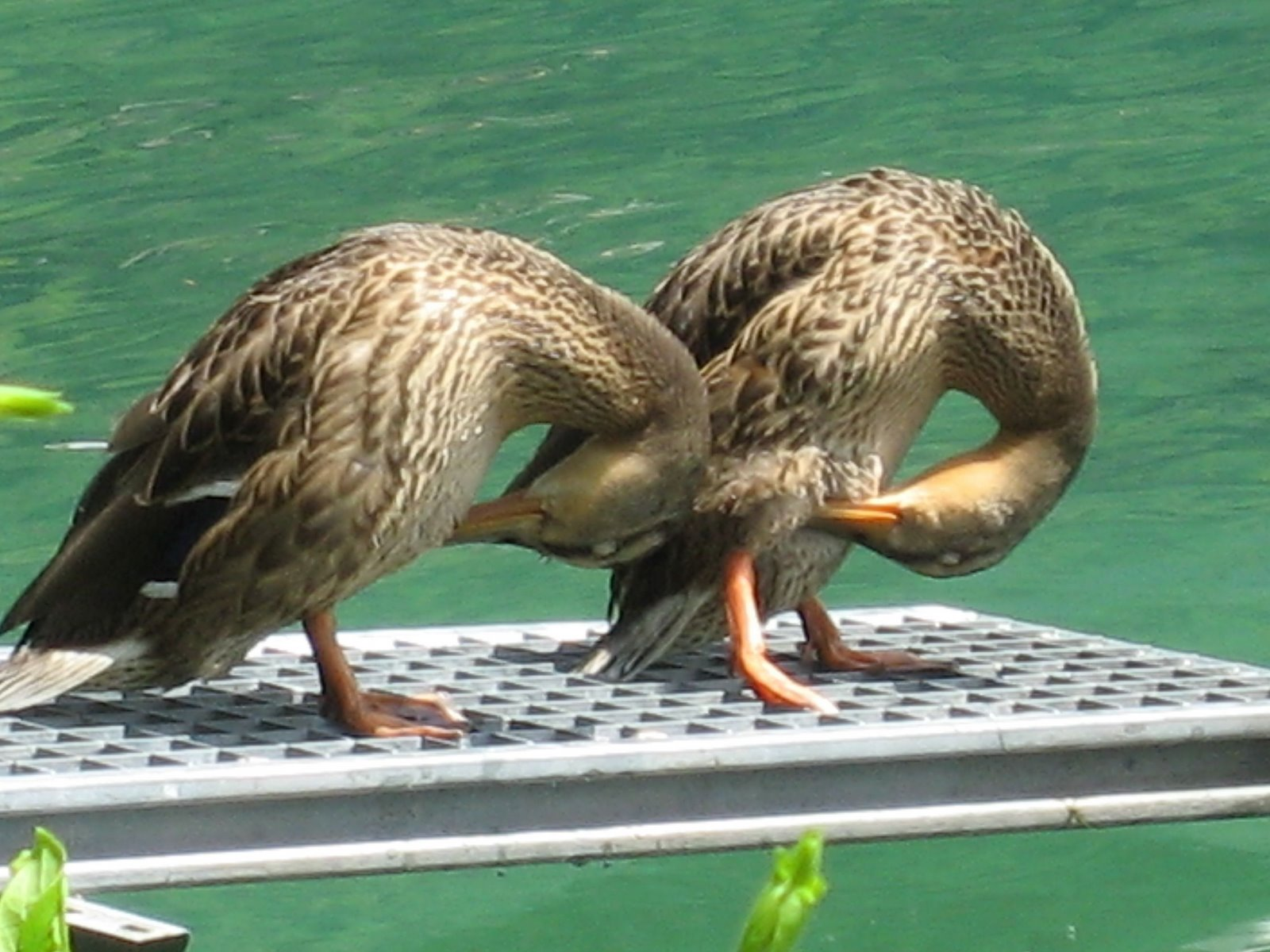 Montreux Switzerland Europe Funny Ducks