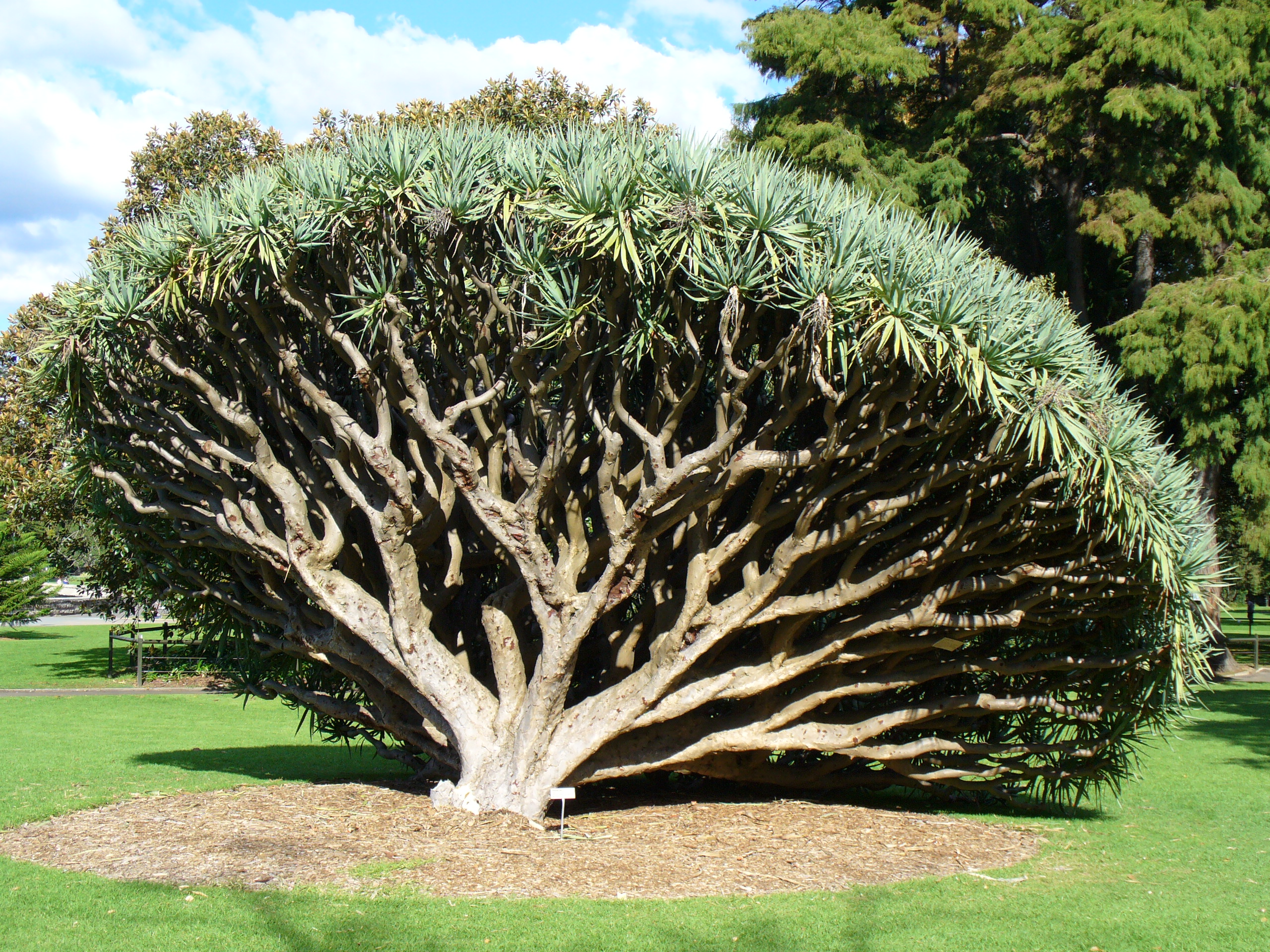 Sydney australia royal botanic gardens an exotic tree for Unusual trees for small gardens