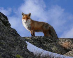 Gran Paradiso, Italy, Europe, Wildlife fox