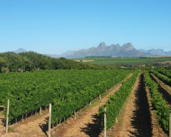 Stellenbosch, South Africa, Vineyard fields