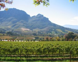 Stellenbosch, South Africa, Vineyard panorama
