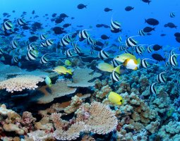 Great Barrier Reef, Australia, Moorish Fish