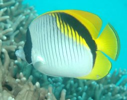 Great Barrier Reef, Australia, Lined Butterflyfish