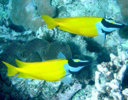Great Barrier Reef, Australia, Foxface fish