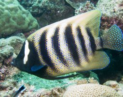 Great Barrier Reef, Australia, Barred Angelfish