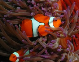Great Barrier Reef, Australia, Clownfish and red anemone