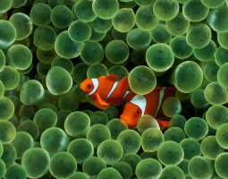 Great Barrier Reef, Australia, Clownfish