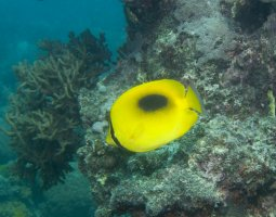 Great Barrier Reef, Australia, Mirror Butterflyfish