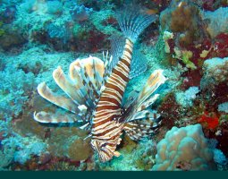 Great Barrier Reef, Australia, Lionfish