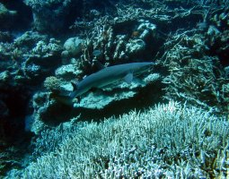 Great Barrier Reef, Australia, Shark searching into Corals